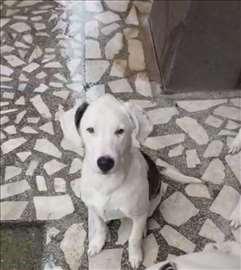 Dogo Argentino mix, štene