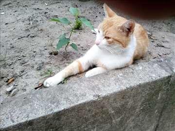 Traži se žuto beli mačor iz centra Subotice