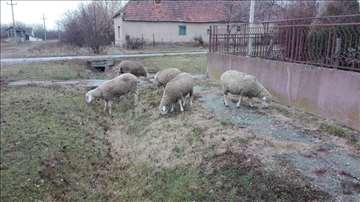 Prodajem 4 ovce, junicu crni holštajn umatičena