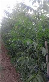 Sadnice kalemljenog oraha