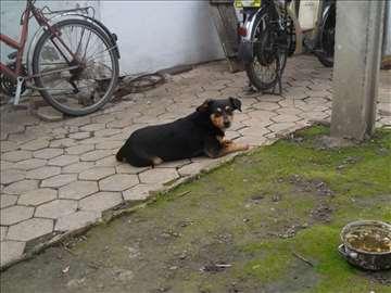 Mešanac, mlad pas