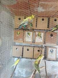 Papagaji tigrice