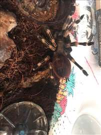 Tarantula Nandu Chromatus stara 1,5 god+terarijum