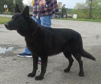Crni Nemački ovčar, odrastao pas za parenje