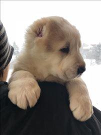 Srednjeazijski ovčar, štene