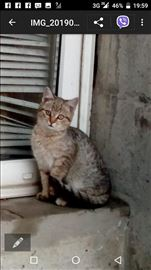 Domaća, mlada mačka