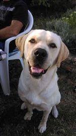Labrador retriver, odrastao pas