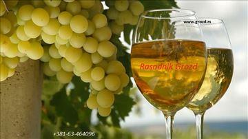 Sadnice vinove loze. Stubasto i patuljasto voće.