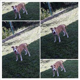 Američki stafordski terijer, mlad pas
