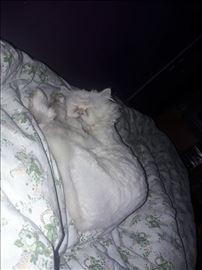 Nestao persijski mačak Pigi