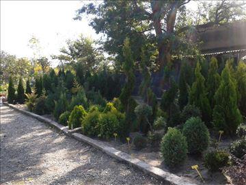Na prodaju sadnice tuja i drveća