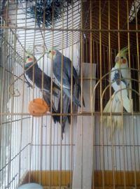 Ninfe papagaji