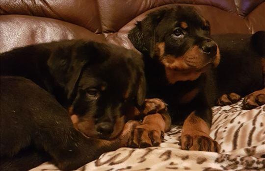 Rotvajler, štene