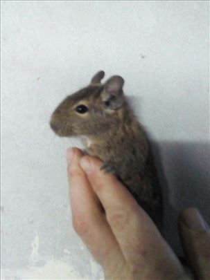 Cileanska veverica-degu