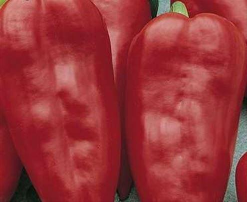 Paprika Amfora seme
