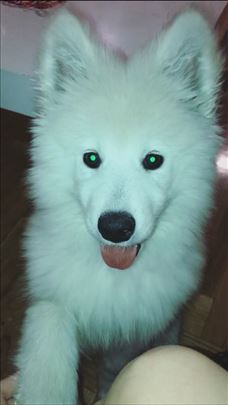 Izgubljeno štene samojeda