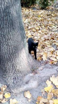 Poklanja se mlada,umiljata,sterilisana crna maca