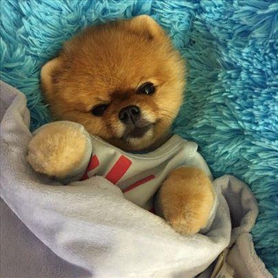 Oranz Boo od roditelja iz Rusije
