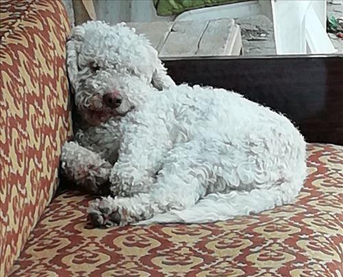 Lagoto romanjolo, mlad pas