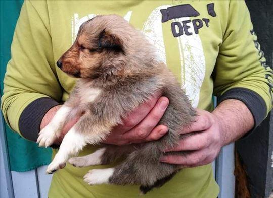 Škotski ovčar dugodlaki, štene