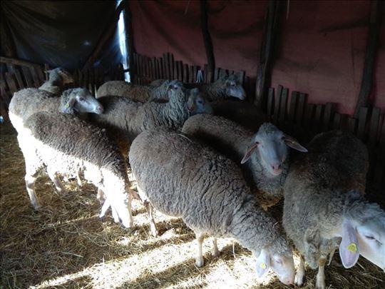 Ovce rase Virtemberg umatičene na prodaju