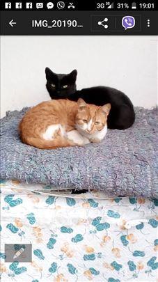 Poklanjaju se mlade,sterilisane/kastrirane mace