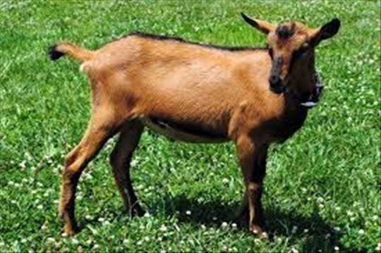 Alpino koze - umatičeno stado