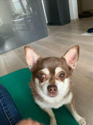 Čivava, odrastao pas, iz svajcarske trazi zenku