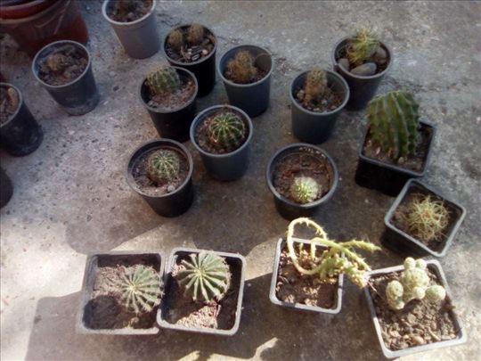 Kaktusi vise vrsta