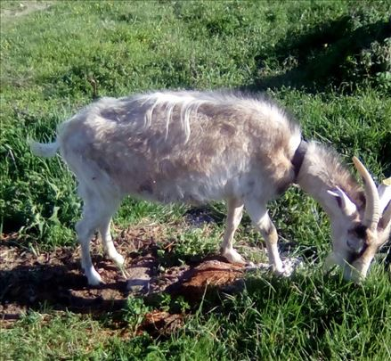 Prodajem kozu