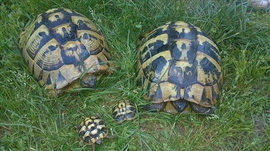 Sumske kornjace ljubimci