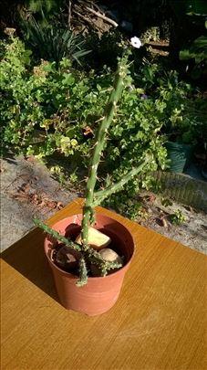 Kaktus iz Grcke