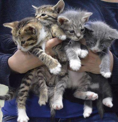 Mešanac, mačići