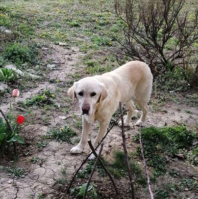 Nestao Labrador