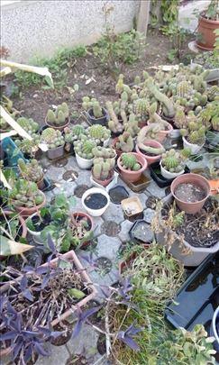 Povoljno kaktusi i drugo cveće