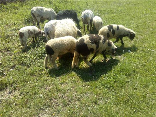 Na prodaju 14 ovaca dviske,11 kom. jagnjadi i ovan