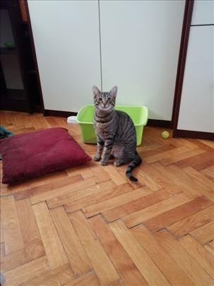 Domaći svilenodlaki, mlad mačor