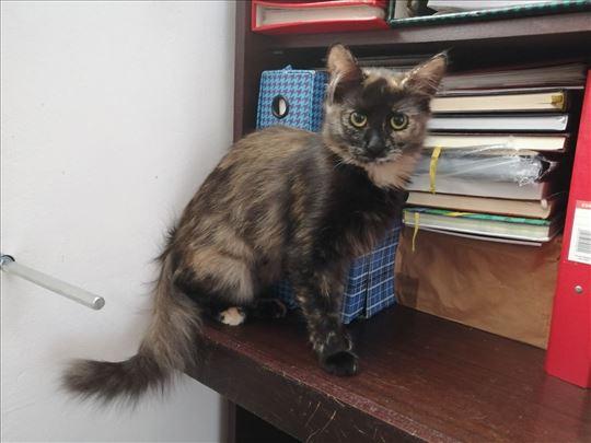 Julijana, dugodlaka, mlada mačka