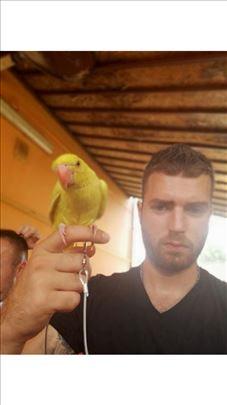 Povoci za šetanje papagaja