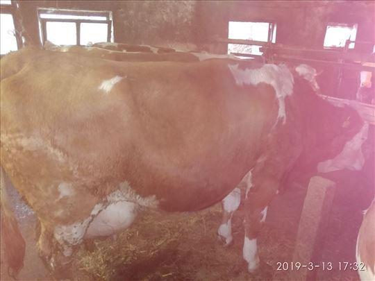 Prodajem krave Golobok