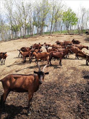 Omatičene koze i jarići