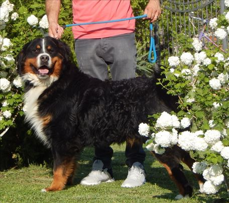 Bernski pastirski pas, odrastao pas