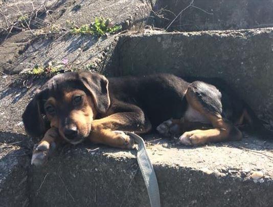 Srpski gonič, štene