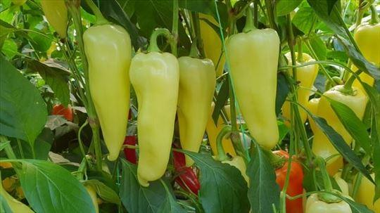 Rasad bele paprike na prodaju