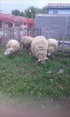 3 ovce plus ovan Il de france
