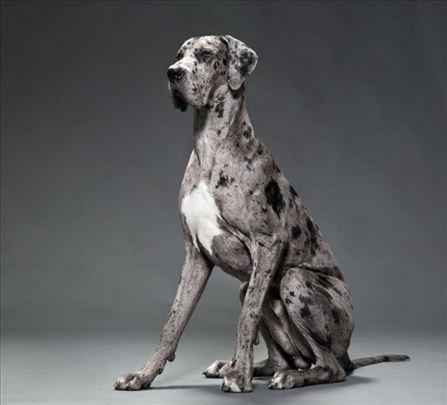 Nemačka doga, odrastao pas za parenje