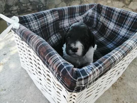 Portugalski pas za vodu, štene