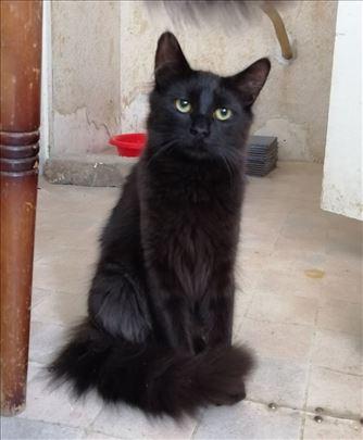 Bleki, dugodlaki mladi mačor