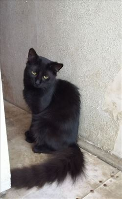 Mešanac, dugodlaki mladi mačor