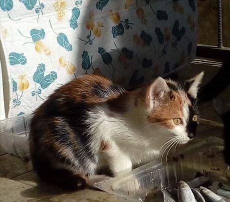 Poklanja se mlada, lepa, trobojna,sterilisana maca